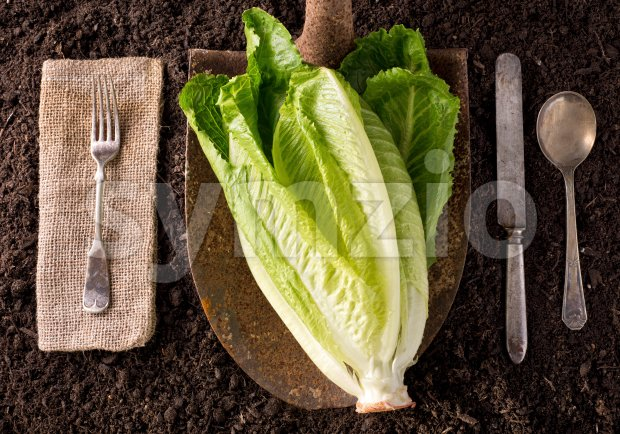 Romaine Lettuce Stock Photo
