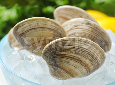 Fresh Clams Stock Photo